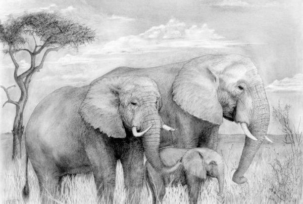 A pencil drawing of a family of elephants