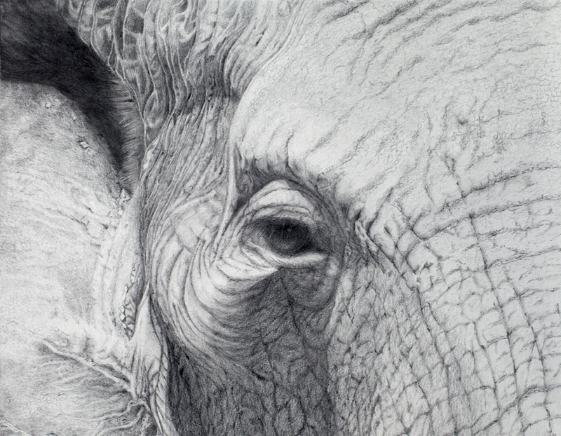 Amazingly realistic pencil art drawing of an elephant